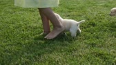 Young labrador puppy dogs walking with their owner - following girl feet on the grass