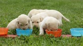 cheirando : Smeary young labrador retriever puppies finish eating their food licking the bottom of their bowls - closeup, static camera