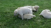 shaky : Group of clumsy small labrador retriever puppies playing in the grass Stock Footage
