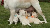 suckling : Standing labrador dog nursing her adorable puppies - standing in the grass, having her owner petting her head Stock Footage