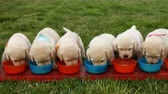 Cute labrador puppy dogs eating from their bowls standing in an orderly row - slow camera slide