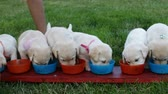 Cute labrador puppy dogs eating from their bowls standing in a row - child hands arranging them