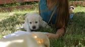 Girl lying on the grass trying to read and playing with labrador puppies in the shade Vidéos Libres De Droits