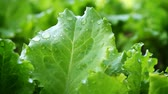 agriculture : Fresh green lettuce