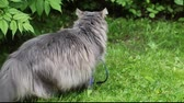 tomcat : Big gray cat with long hair in the garden in summer