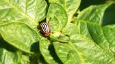 colorado potato beetle : Colorado potato beetleLeptinotarsa decemlineata