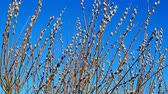 freshness : Pussy willow on blue sky background