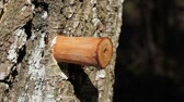 сок : Drip of birch sap in early spring in forest