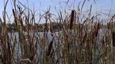 reed : Reeds at the lake moves in the wind
