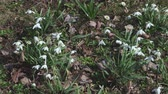 kar taneciği : Snowdrops move in the wind Stok Video