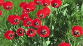 womens : Red tulips on green grass