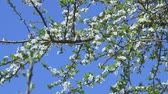 szilva : Apple tree bloom on blue sky Stock mozgókép