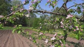 ameixa : Camera turn near apple tree blooms