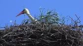 barvy : Stork at the nest in summer