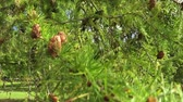 pinha : Pine branch with cones in windy day Stock Footage