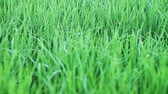 метелка : Paddy field in panicle initiation stage