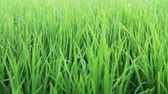 посвящение : Paddy field in panicle initiation stage
