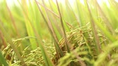 метелка : Close up of a paddy plant