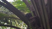 varens : Close up of oil palm in a plantation Stockvideo