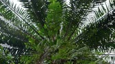 varens : Low angle view of a palm oil tree
