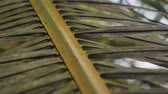 palma : Close up of palm leaves