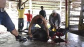 handheld : Slaughtering a cow for Eid Aidha celebration. Qurban Kurban