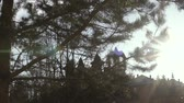 inculto : Sunny day, Sun breaking through pine trees dolly shot of the forest