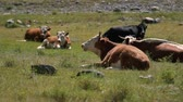 bezerra : ows grazing in a fresh green field. Organic, natural, healthy food concept Vídeos