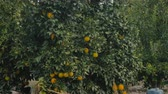 delicious : The citrus tree with oranges on it Stock Footage