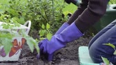 annaffiatoio : Planting peppers in the garden. Hands in rubber gloves puts the plant in the ground. Hands tamper the earth around the plant. Watering plants from a plastic watering can. Garden work. Working in the garden. Close-up.