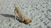 wild : slow motion video of a funny dog ??digging a hole on the beach. wide shot full hd footage.