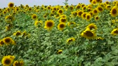 flower growing sun : yellow sunflower swaying in the wind. Agriculture industry scene. Summer season time. Stock Footage