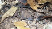 copy : Julida is an order of a millipedes living in the forest bedding. Close up video.