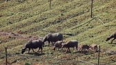 abundante : Asian buffalo grazing on rice terraces eating grass and roots near Ban Na village, Laos.