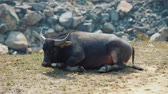 abundante : Asian buffalo having rest on terraced mountains in Sa Pa, Vietnam. Full HD stock footage.