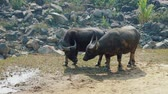 abundante : Asian buffaloes grazing on terraced mountains in Sa Pa, Vietnam. Full HD stock footage.