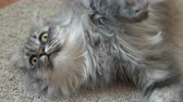 cat strofe : Close up video of a cute gray fluffy cat resting on the rug looking at the camera.