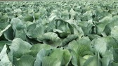palouk : Close up of a freshly growing green cabbage field. Agriculture industry scene. Autumn season time.