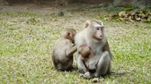fascicularis : Northern pig-tailed macaque with baby eating on the ground at Khao Yai national park, Thailand. Stock Footage