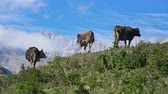 галоп : Three cows grazing on a hill at beautifull mountain view.