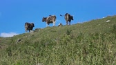 cval : Three cows grazing on a hill at beautifull mountain view.
