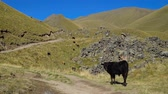 galope : herd of cows gazing on a hill at beautifull mountain view. black cow looking at the camera. Vídeos