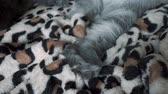 smíšený : Close up video of a cute gray fluffy cat moving leg on the bed