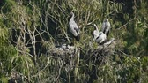 Asian openbill storks on trees - bird living and feeding at freshwater lakes and rice fields, Asia.
