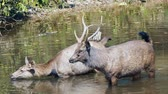 インド : Pair of sambar deers rest in the river at Khao Yai national park, Thailand. Sambar is a large deer living in the Indian Subcontinent, southern China and Southern Asia.