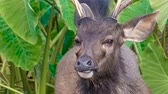paroh : Close up portrait of a male sambar deers at Khao Yai national park, Thailand. Sambar is a large deer living in the Indian Subcontinent, southern China and Southern Asia.