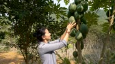 vietnamita : Slow motion - woman touching big green papaya fruit in the garden. Green papaya is used in Southeast Asian cooking, both raw and cooked. Vídeos