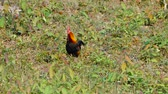ali di pollo : Male Red Jungle Fowl at Khao Yai National park Thailand Filmati Stock