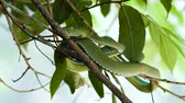 obranný : Close Up video - a venomous Vogeli green pit viper lies on a tree branchover the river at Khao Yai National Park.