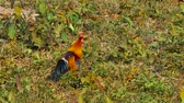 gallo : Male Red Jungle Fowl at Khao Yai National park Thailand Filmati Stock